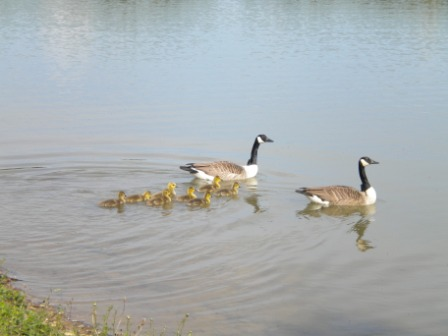 Photo of geese and goslings on the lake